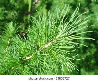 green larch branch