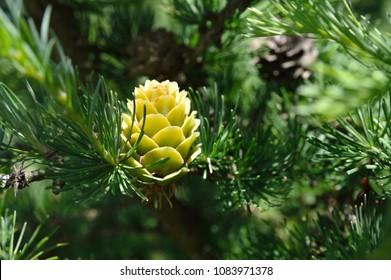 Green larch cones, larch tree