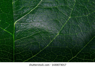Green large fresh leaf shot close-up translucent in sunlight with capillaries