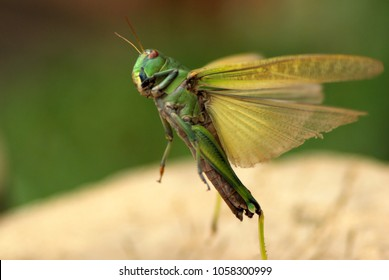 Green large Locusts flying with wide open wings, side view, soft blurry bokeh background