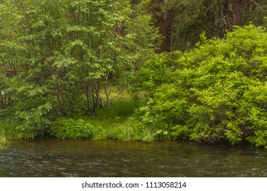 Green late spring vegetation growing on the edge of the Metolius River, a popular Oregon fly fishing stream on the eastern slope of the Cascade Mountains. The photo was taken at Camp Sherman.
