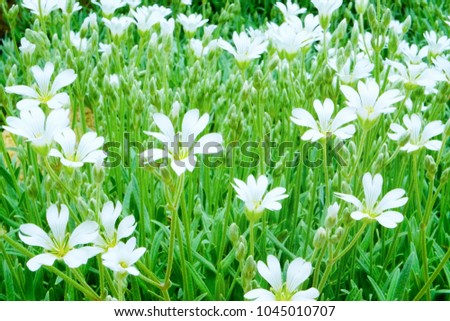 Green lawn big white flowers ground stock photo edit now green lawn with big white flowers of ground cover plants cerastium tomentosum snow in mightylinksfo