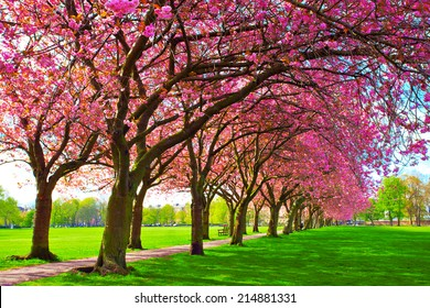 Green lawn with blossoming pink plum trees at Meadows park, Edinburgh. Colorful spring landscape