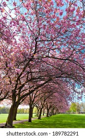 Green lawn with blossoming plum trees at Meadows park, Edinburgh