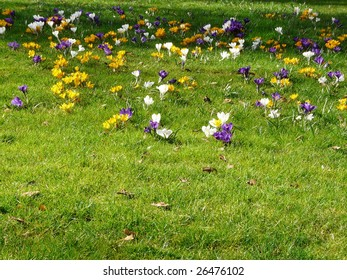 Green lawn in the spring with crocus flowers