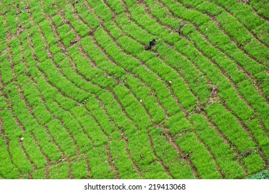 The green layer of nature in cultivation field.