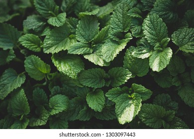 Green layout made of green mint leaves