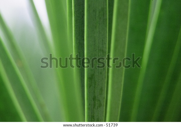 Green leaes of a coryline plant
