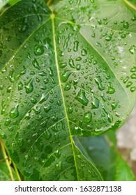 Green leaf after rain fall