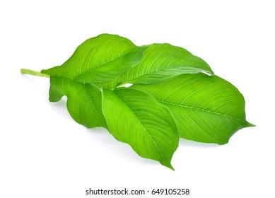 green leaf of amorphophallus paeoniifolius (dennst.) nicolson.elephant yam, stanley s water-tub, konjac isolated on white background