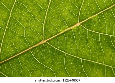 green leaf with anatomy and structure, macro view anatomy and texture green leaf.