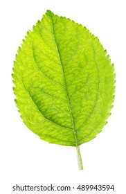 Green leaf of apple isolated on a white background clipping path
