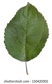 green leaf of apple tree isolated on white background