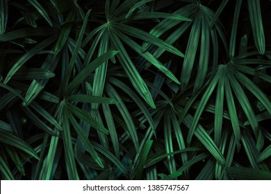Green leaf background of bamboo palm or lady palm