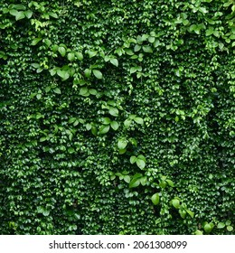 Green leaf background, leaf of Mano de Lagarija ( Macfadyena Unguis-Cati (L.) A.H. Gentry ), ornamental ivy shrubs in the garden