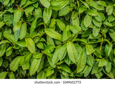 green leaf background. Seamless Tileable Texture. Green leaves. yellow Bush. Seamless Tileable Texture.