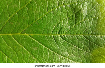 Green leaf background or texture.