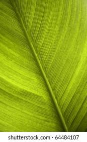 green leaf of a banana tree