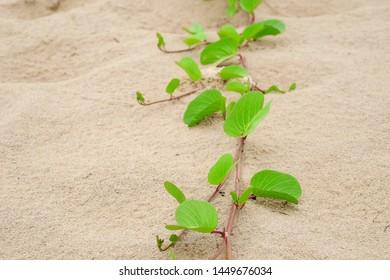 green leaf of Beach morning glory ( Ipomoea pes-caprae ) on the beach