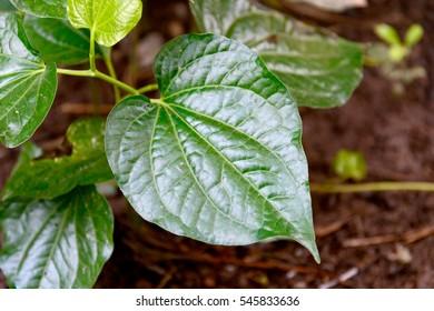 green leaf ,betel leaves