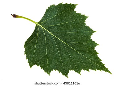 green leaf of birch tree (Betula pendula, silver birch ,warty birch, European white birch) isolated on white background