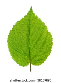 green leaf of birch tree isolated on white