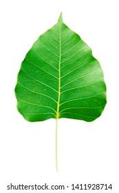 Green leaf Bo leaf, Sacred fig leaves, Green bodhi leaf vein on white background.