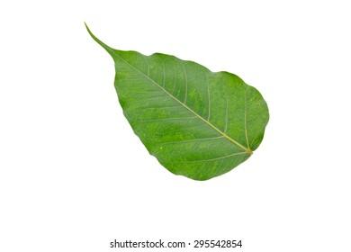 Green leaf of Bo Tree.