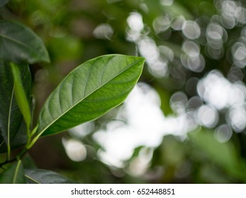 Green Leaf with bokeh