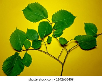 A green leaf, branch of a hazel tree Corylus avellana, on a yellow paper background. Close up.