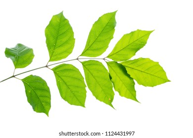green leaf brunch isolate on white background
