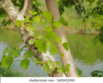 Green Leaf of Butterfly Tree on branches with nature blurred background, other names Phanera purpurea or Bauhn names incinia purpurea, Common names orchid tree, purple bauhinia, camel's foot.