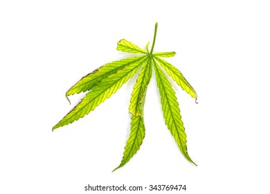 green leaf of canabis on white background
