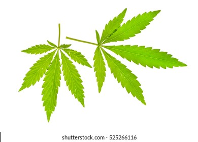 Green leaf of cannabis isolated on white