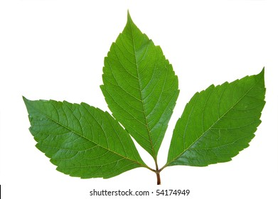 Green leaf of chestnut . Design Element