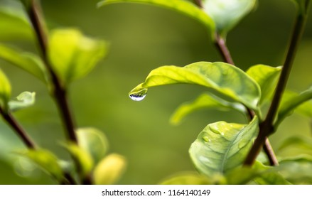 Green leaf with clear water drop and beautiful sunlight background in the garden at home, rainy day in the morning.