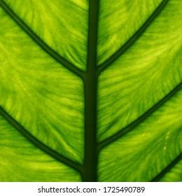 Green leaf closeup, leaf texture, natural green background, tropical plants macro shot