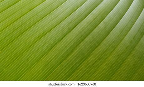 green leaf closup cloropites.