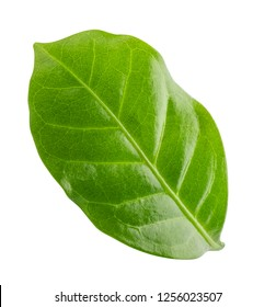 Green leaf of coffee isolated on white background. Clipping path