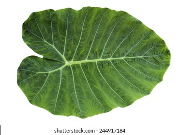 Green leaf of Colocasia isolated on white