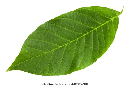 Walnut Leaf Images, Stock Photos & Vectors | Shutterstock