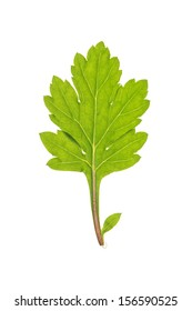 Green leaf of Common wormwood isolated on white