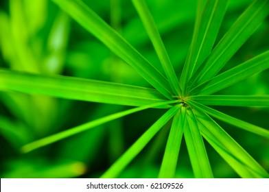 Green Leaf of Cyperaceae family or sedges