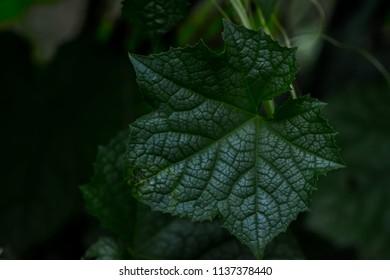Green Leaf in dark tone (zucchini leaf),  can used for nature background.