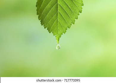 Green leaf with drop of chamomile essential oil on blurred background