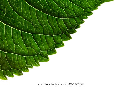 Green leaf edge texture on white background. Macro. Isolated.