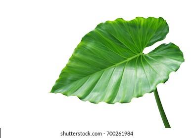 Green Leaf of Elephant Ear Plant Isolated on White Background