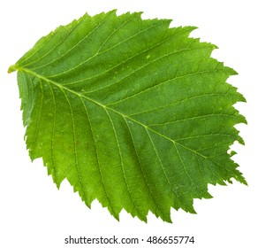 green leaf of Elm tree (ulmus laevis, european white elm, fluttering elm, spreading elm, stately elm, russian elm) isolated on white background