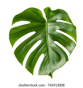 Green leaf of exotic plant monstera isolated on white background