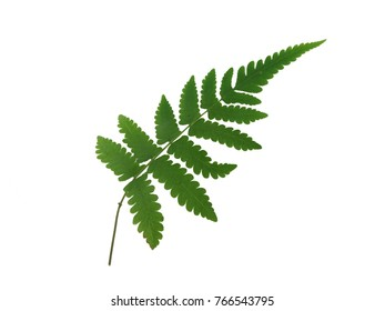Green leaf of fern isolated on white background